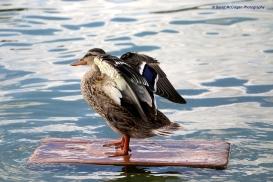 Surfing Duck at Jardins du Tuileries, Paris