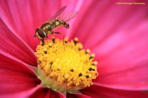 Hornet Collecting Pollen