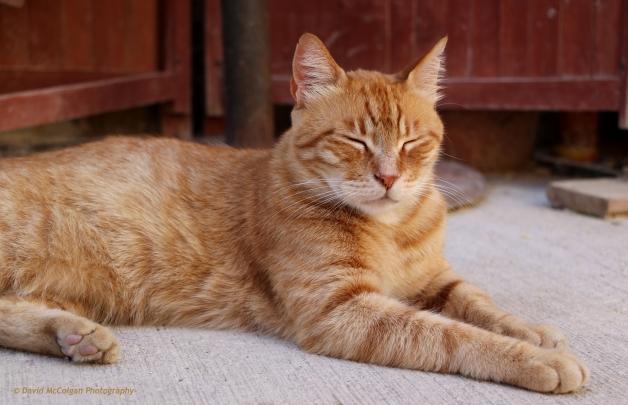 Cat at Triq Il-Batterija, Valletta